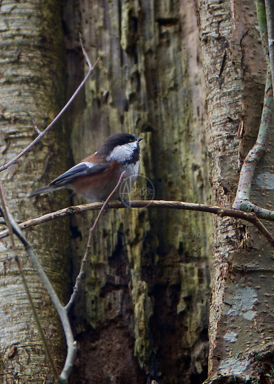 Chestnut Backed Chickadee at Discovery Park, Jan. 2013.