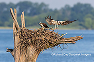 00783-02003 Osprey (Pandion haliaetus) landing at nest Rend Lake Jefferson Co. IL