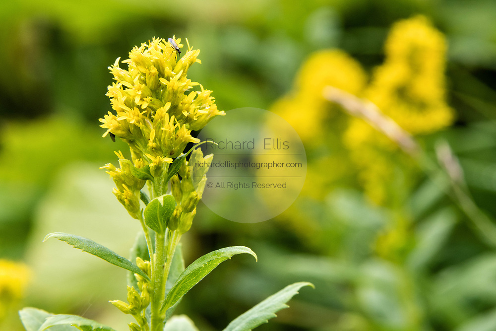 St. Albert goldenrod wildflowers blooming at the McNeil River State Game Sanctuary on the Kenai Peninsula, Alaska. The remote site is accessed only with a special permit and is the world's largest seasonal population of brown bears in their natural environment.