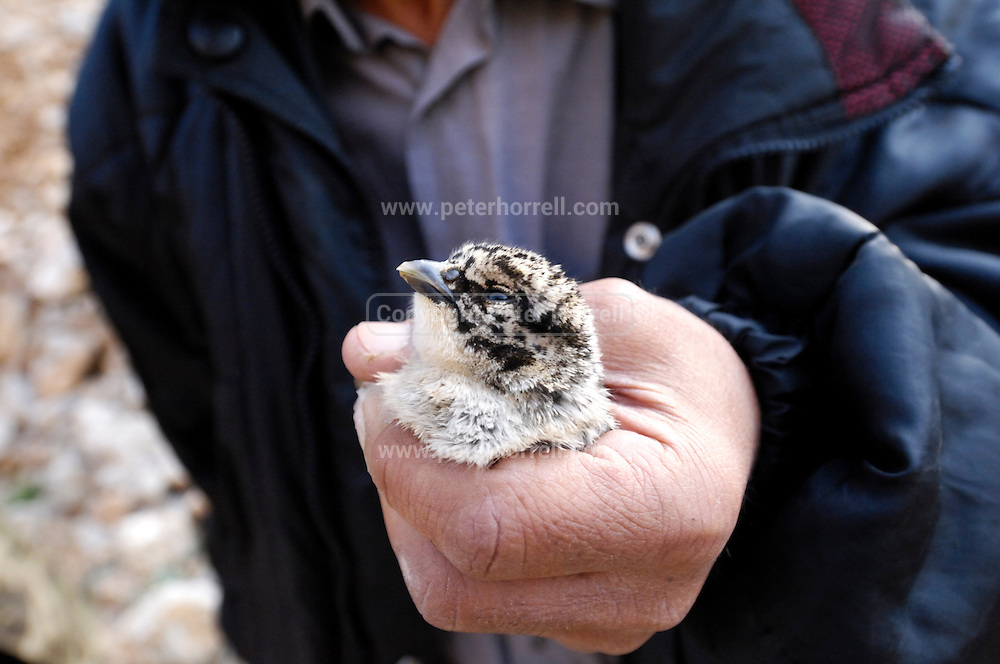 Turkey July 21 2011: A Caspian snowcock chick is held up to the camera near the chromium mine in the Aladag mountain area near Çukurbag.  Copyright 2011 Peter Horrell