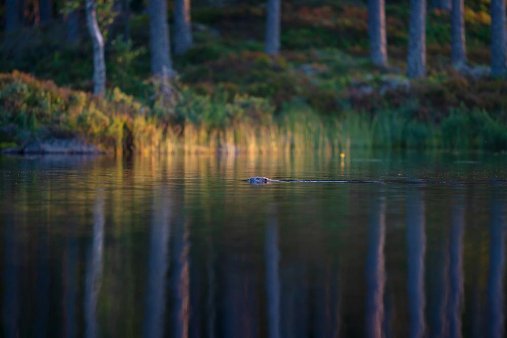 Beaver, Castor fiber, Malingsbo-Kloten Nature Reserve, Vastmanland, Sweden. Beaver safari, Nordic Discovery/Naturarvskompaniet