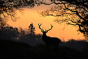 © Licensed to London News Pictures. 10/12/2013. Richmond, UK A lone stag stands against the sunrise. Sunrise and deer in Richmond Park, Surrey, this morning 10 December. Photo credit : Stephen Simpson/LNP