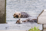 A pair of northern sea otters feed on shellfish while floating  on Kamishak Bay at the City of Homer Port & Harbor marina in Homer, Alaska. A northern sea otter floats along on Kamishak Bay at the City of Homer Port & Harbor marina in Homer, Alaska.