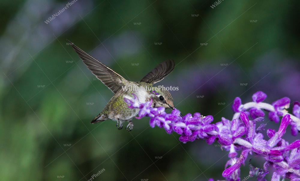 Immature male Costa's Hummingbird (Calypte costae) feeding on Mexican Sage (Salvia leucantha). Tucson