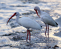 White Ibis (Eudocimus albus). Fort De Soto Park. St. Petersburg, Florida. Image taken with a Fuji X-T2 camera and 100-400 mm OIS lens.