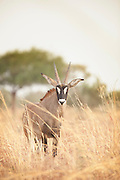 A roan antelope, one of the largest antelopes, roams in Waza National Park, in the north of Cameroon