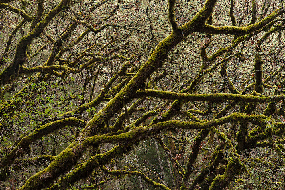 Gnarled oaks along the countryside of California's wine country.