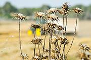 dry Clustered Carline Thistle (Carlina curetum Syn. Carlina corymbosa)