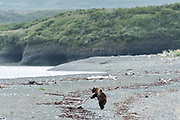A brown bear sub-adult plays with driftwood branches along the beach at the McNeil River State Game Sanctuary on the Kenai Peninsula, Alaska. The remote site is accessed only with a special permit and is the world's largest seasonal population of brown bears in their natural environment.