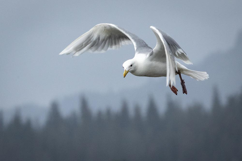 Larus glaucescens,  <br /> Lake Clark NP, Alaska, August 2021