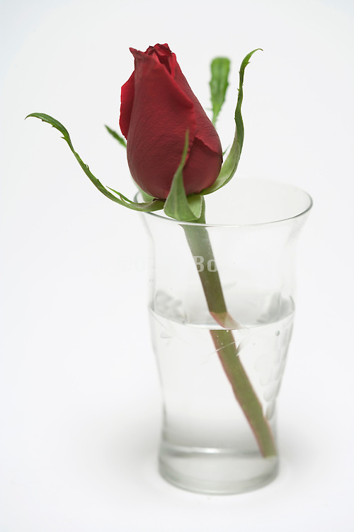 a single rose in a glass of water against a white background