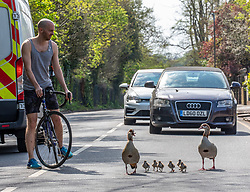 © Licensed to London News Pictures. 10/04/2020. London, UK. Cars and cyclist stop for a family of geese which decided to walk down a main road in Wandsworth. A family of Egyptian geese including six chicks caused a bit of a stir in Wandsworth in South London, as they went on a Easter Sunday walk. But their derring escape from nearby Richmond Park possibly breaking lockdown rules was unfortunately foiled by passers-by who tried to helping them return to the park and away from the main roads. Photo credit: Alex Lentati/LNP