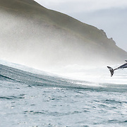 An Indo-Pacific bottlenose dolphin (Tursiops aduncus) leaping out of the surf in South Africa