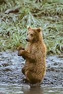 Young Alaskan brown bear sits up at edge of stream, McNeil River State Game Sanctuary, Alaska, © David A. Ponton