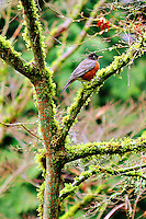 A red-breasted robin sits in a mossy tree - vertical