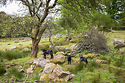 Herdwick sheep at Eskdale in the Lake District, Cumbria, England
