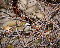Black-capped Chickadee. Image taken with a Nikon 1V1 camera, FT1 adapter, and 70-200 mm f/2.8 VRII lens (ISO 560, 200 mm, f/8. 1/125 sec).