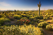 Wildflowers and cactus at McDowell Mountain Regional Park, near Fountain Hills, outside of Phoenix, Arizona.