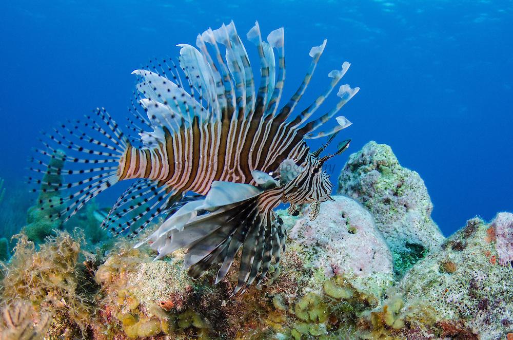 Red Lionfish (Pterois volitans)<br /> Jardines de la Reina National Park<br /> CUBA, Caribbean<br /> INVASIVE SPECIES off east coast of USA, South America and Caribbean
