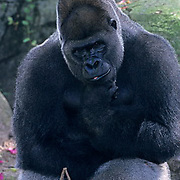 Western Lowland Gorilla, (Gorilla gorilla gorilla) Male.Inhabits rainforest in West Africa.  Captive Animal.