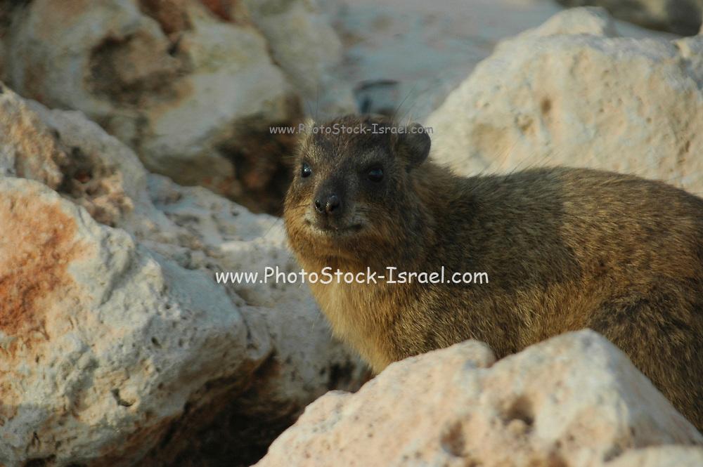 Israel, Rosh Hanikra, The Rock Hyrax, (Procavia capensis)