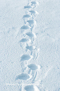 01874-104.03 Polar Bear (Ursus maritimus) tracks in snow, Churchill MB