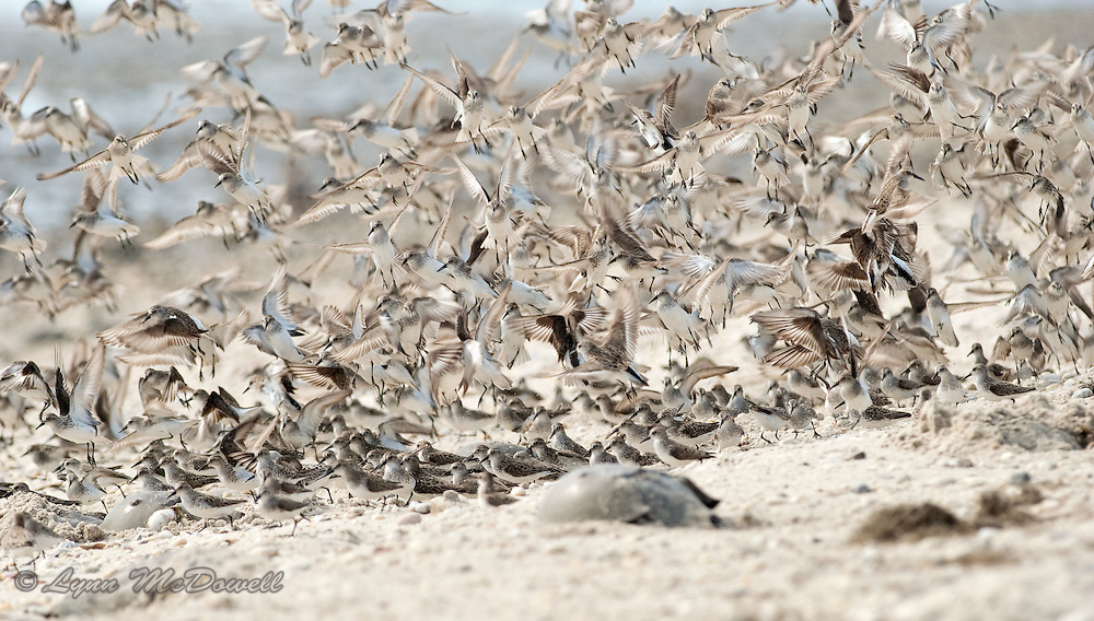 Semipalmated Sandpipers move in large flocks during spring migration. The flock seems to be in constant motion as they fill on horseshoe crab eggs and fly from perceived danger. This food is essential to fuel them for the remainder of their journey. Pickering Beach Delaware