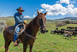 An eighty-five year old cowboy still punching cows in Blackfoot Idaho.<br /> <br /> My western images are not to be used for anti-grazing uses.