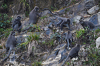 Phayre's leaf monkeys or Phayres langurs, Trachypithecus phayrei, sitting on rocks in the He Xin Chang Forest reserve, Dehong Prefecture, Yunnan Province, China