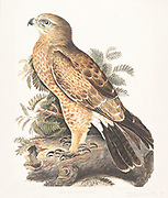 The booted eagle (Hieraaetus pennatus, also classified as Aquila pennata) is a medium-sized mostly migratory bird of prey with a wide distribution in the Palearctic and southern Asia, wintering in the tropics of Africa and Asia, with a small, disjunct breeding population in south-western Africa. Like all eagles, it belongs to the family Accipitridae. 18th century watercolor painting by Elizabeth Gwillim. Lady Elizabeth Symonds Gwillim (21 April 1763 – 21 December 1807) was an artist married to Sir Henry Gwillim, Puisne Judge at the Madras high court until 1808. Lady Gwillim painted a series of about 200 watercolours of Indian birds. Produced about 20 years before John James Audubon, her work has been acclaimed for its accuracy and natural postures as they were drawn from observations of the birds in life. She also painted fishes and flowers. McGill University Library and Archives