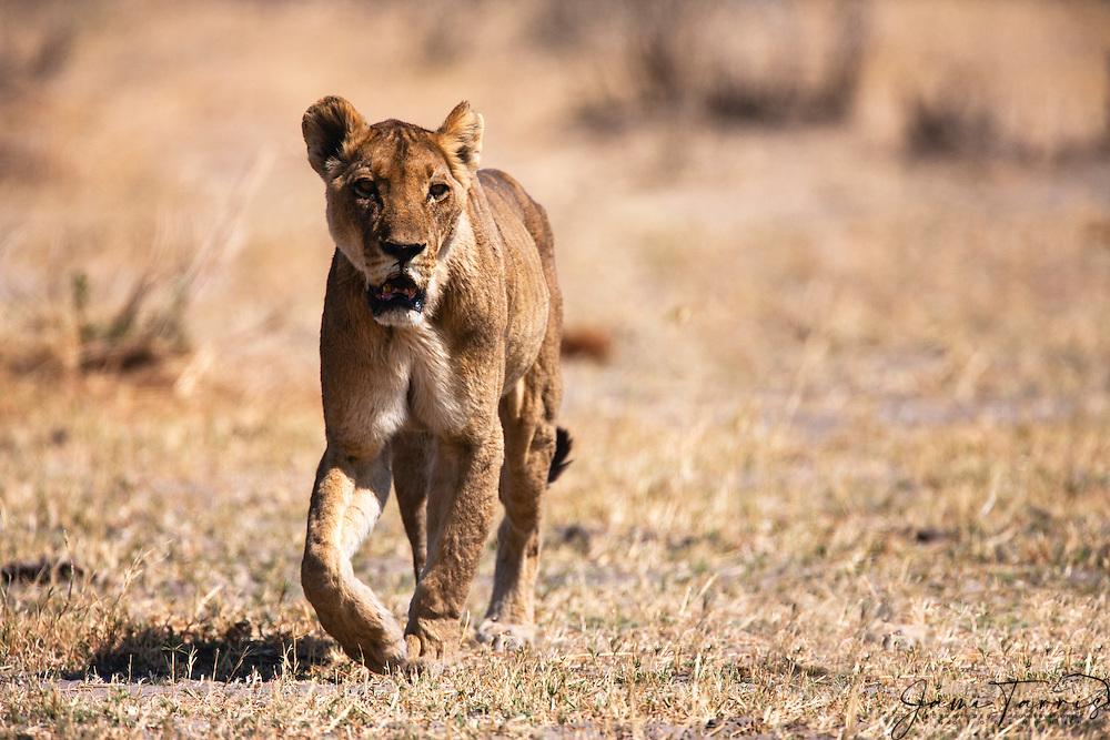 A lioness (Panthera Leo) approaching , Savuti, Chobe National Park, Botswana,Africa