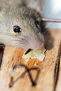 close up of mouse caught in a mousetrap