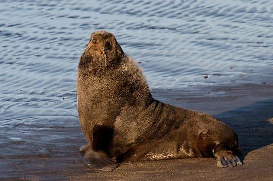 Northern Fur Seal (Callorhinus ursinus) Male on the beach of St. Paul, Pribilof Islands. Alaska.