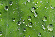 Drops of water sit on a Lady's Mantle (Alchemilla) leaf