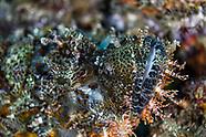 Stonefish-Poisson pierre (Synanceia verrucosa)