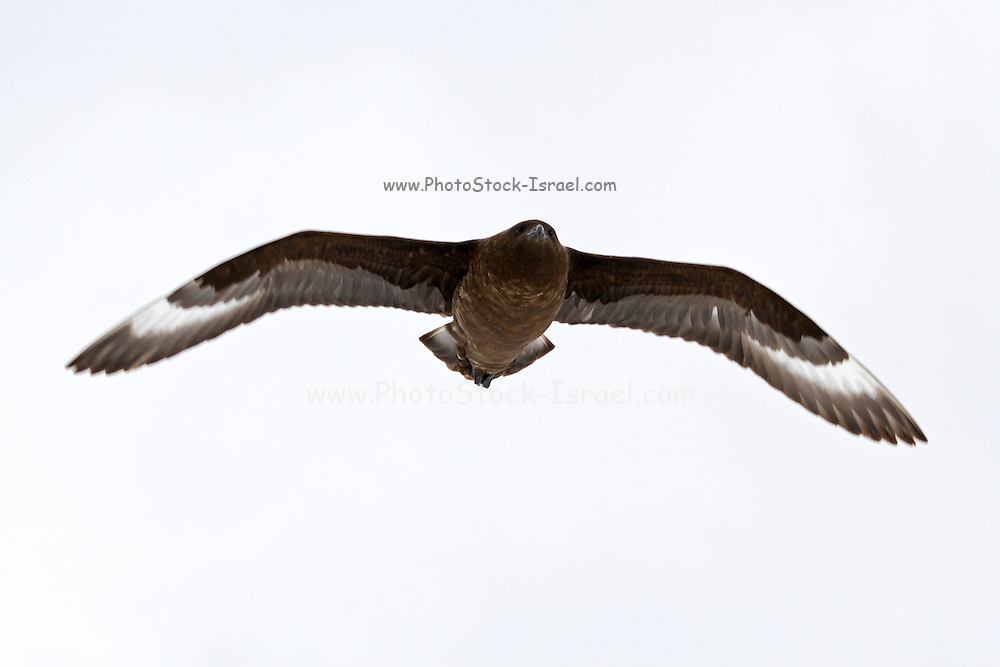 Southern giant petrel (Macronectes giganteus) in flight. This large bird is native to Antarctica and the southern hemisphere regions. It is around 86 centimetres in length with a wingspan of around 195 centimetres. This bird feeds on the carrion of mainly seals and penguins. It will also eat krill, squid and fish. Photographed on Neko Harbor, Antarctica.