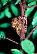 Spectral or Sulawesi Tarsier, (Tarsius spectrum), in the rainforest, Tangkoko Nature Reserve, Sulawesi, Indonesia (Celebes-Koboldmaki)