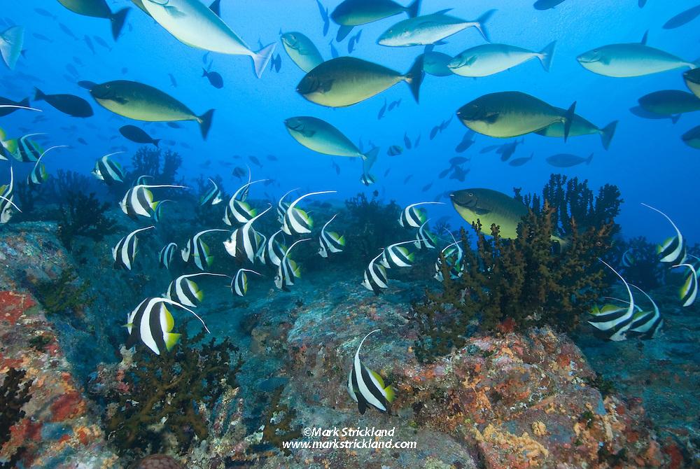Dense schools of Schooling Bannerfish, Heniochus diphreutes, and Gray Unicornfish, Naso caesius, gather on the steep slopes of Fish Rock, Passage Island, Andaman Islands, Andaman Sea; India