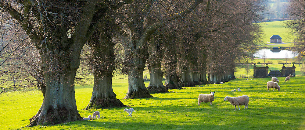 Sheep - ewes with lambs, Ovis aries, in Cotswold landscape near Naunton, The Cotswolds, Gloucestershire, UK
