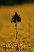 Red-winged Blackbird singing from a stick in a field of Yellowtop - Mississippi.