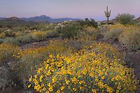 Brittlebush (Encelia farinosa) glowing in the light of the setting sun, Superstition Mountains Arizona