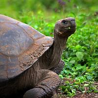 America, South America, Ecuador, Galapagos Islands, Santa Cruz Island. The Galapagos Tortoise in the highlands of Santa Cruz Island.