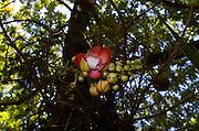 Exotic Jamaican Garden Flower - Goldeneye