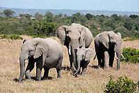 bunch of elephants, Elephantidae, in the bush of the masai reserve in kenya africa