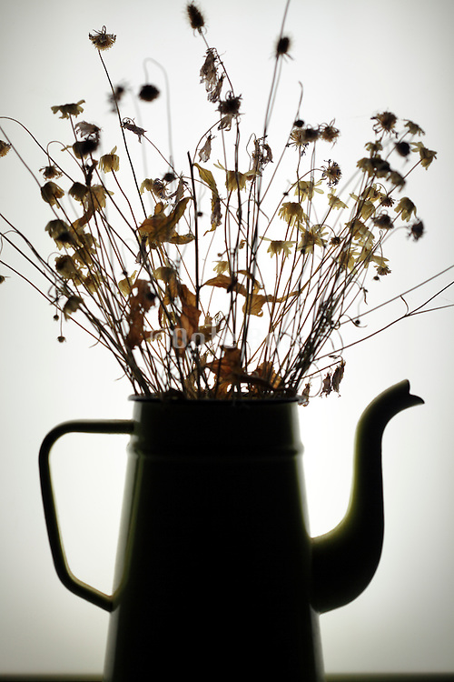 silhouette of wilted spring time flowers in old coffeepot