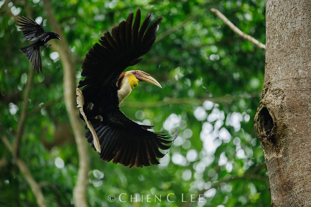 With his crop full of food and water, a male Plain-pouched Hornbill (Rhyticeros subruficollis) returns to his nest in the cavity of a tree wherein the female waits sealed inside. During the nesting period, which can last several months, his mate will be completely dependent on his regular visits to provide her with everything she needs while she incubates the young and raises the chicks. Unfortunately, his duties on this day have been complicated by the annoying attentions of a Greater Racket-tailed Drongo (Dicrurus paradiseus) which has perhaps also been nesting nearby. Although much smaller than the hornbill, drongos are known for their bold and aggressive behavior, especially towards other birds that could be potential predators of their nests. Huai Kha Khaeng Wildlife Sanctuary, Thailand.