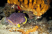 coral toadfish or splendid toadfish, Sanopus splendidus , ( endemic ) Cozumel, Quintana Roo, Mexico ( Caribbean Sea )