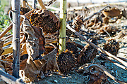 sunflower heads wasting on the ground after mechanical harvesting France