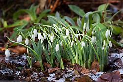 Galanthus 'Galatea' - snowdrop