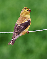 American Goldfinch. Image taken with a Nikon Df camera and 70-300 mm VR lens.